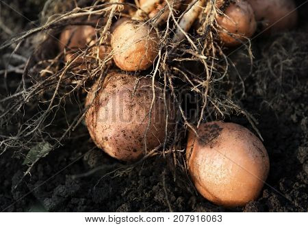 Potato plant with tubers on soil, closeup
