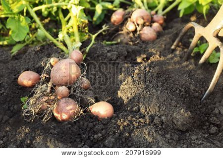 Potato plant with tubers on soil