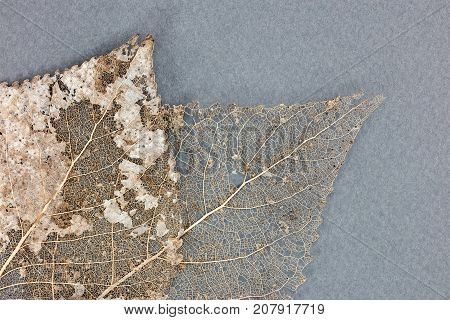 Closeup Skeletons Of Dry Leaves On Grey Background
