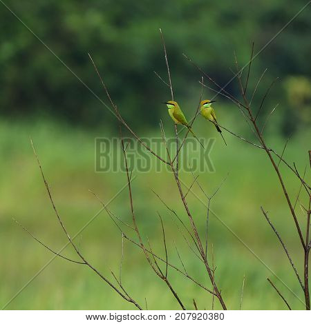 Pair of bee eater on twigs in farm in India