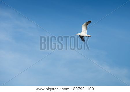 seagull bird flying up in the sky. outdoor shot in norway. copy space.