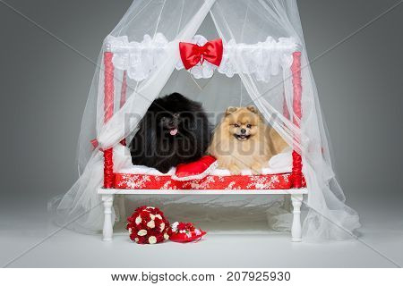 Beautiful spitz wedding couple lying on bed over grey background. happy newlyweds. first night. copy space.