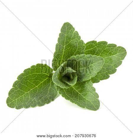 Stevia leaves pieces isolated om white background cut out.
