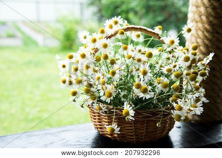Daisy Flowers In The Basket. Basket With Chamomile In The Garden.