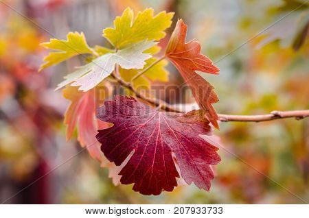 Multi-colored leaves of gooseberry. Autumn colors of wildlife. Natural color scheme. Autumn leaves close-up.