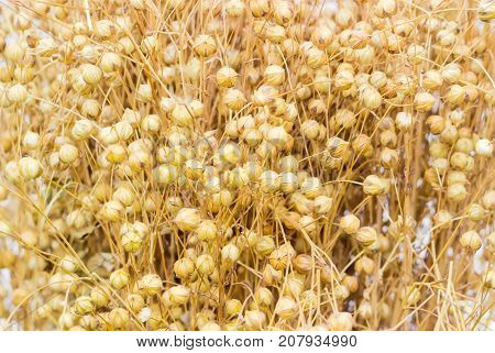 Background of top part of the harvested flax sheaf with seed capsules