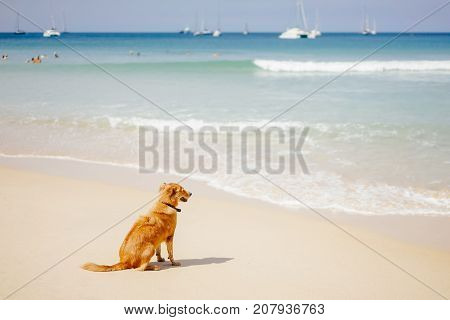 the red-haired dog sits on the sandy beach of a tropical island looks out to the seaside for bathing people.