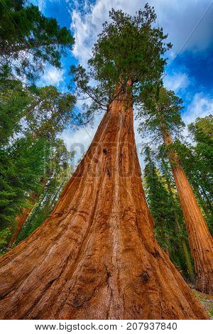 Giant Sequoia trees (sequoiadendron giganteum) in Sequoia National Park, California, USA