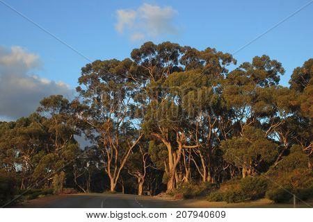 Australian landsape with eucalyptus trees and evening sun light