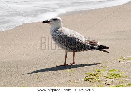 A gull, walking along a seashore in search of food