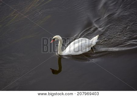 White swans in the water. Swan floating on the river