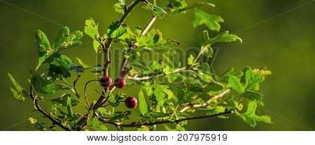 HAWTHORN - Nature on a wild bush in early autumn