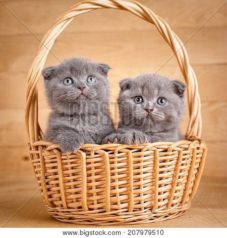 Purebred cats. Pets. The gray color Scottish fold cats sits in a wicker basket. A playful kittens. Cat background. Images -picture for a calendar with cats.