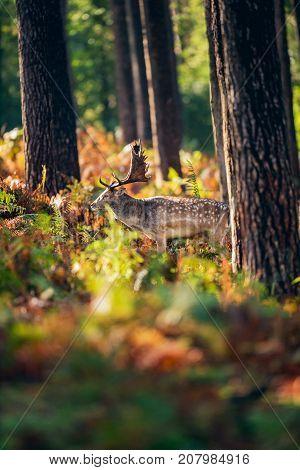 Fallow Deer Buck (dama Dama) Between Ferns In Autumn Forest.