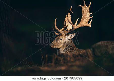 Fallow Deer Buck (dama Dama) Lit By Sunlight In Dark Autumn Forest.