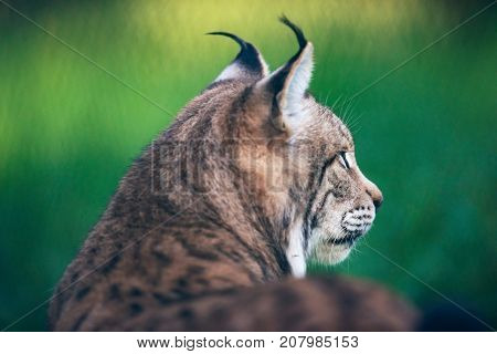 Rear Side View Of Eurasian Lynx (lynx Lynx) In Meadow.