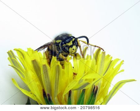 European Wasp Yellow And White Flower