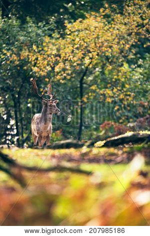 Fallow Deer Buck On Path In Autumn Forest.