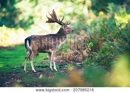 Fallow Deer Buck (dama Dama) On Path In Forest.