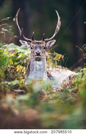 Headshot Of Fallow Deer Buck (dama Dama) Between Ferns In Autumn Forest.