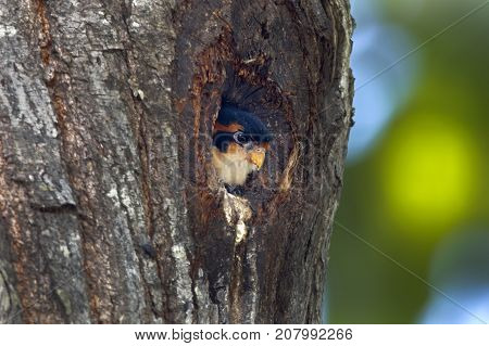 Black-thighed Falconet Microhierax Fringillarius Birds In Tree Hollow