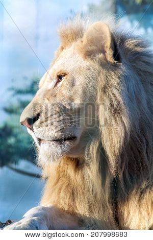 White lion. A thoughtful look into the distance. Animal Predator in the wild. Blurred background and sun glare on the photo.