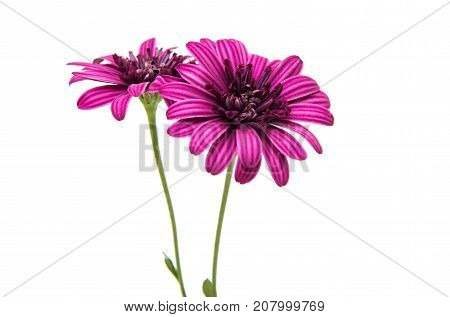 daisy pink flower isolated on white background