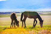 Two wild horses are grazing across the steppe, Kazakhstan poster