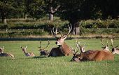 This photo of deer was taken in Richmond Park UK poster