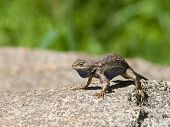 western fence swift lizard warming up in the sun. poster