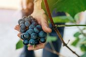 Female viticulturist harvesting grapes in grape yard organic farmer and agronomist picking wine grapes manual grape gathering selective focus poster