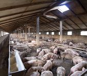 Vanish view of Inside of Big breeding pig farm poster