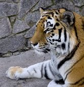 tiger close-up ** Note: Slight blurriness, best at smaller sizes poster