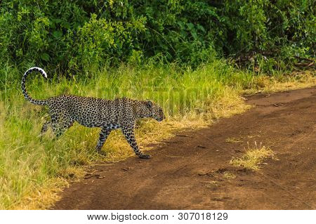 Cheetah Coming Out Of The Woods On A Trail In The Savannah Of Samburu Park In Central Kenya In Afric