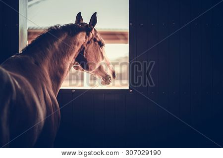 Mature Horse In A Stable Box Looking Outside Of His Box Window. Equestrian Facility Theme.