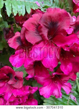 Pink geranium flowers in a garden