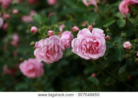 Beautiful Pink Rose Bush Abundant Blooming In Summer Garden In Contryside. Tilt Shift Shot.
