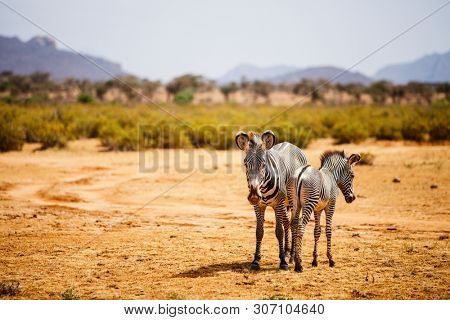 Grevy's zebras in Samburu national reserve in Kenya