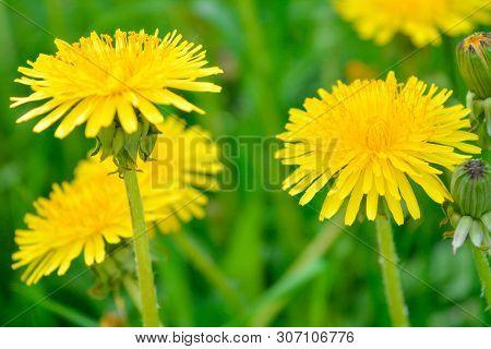 Yellow Dandelion, Taraxacum Officinale, Flower On Spring Meadow. Dandelion Blossom In Green Grass On