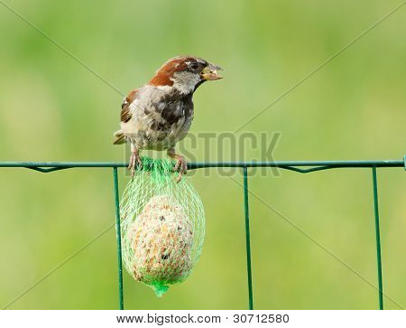 A Sparrow Is Eating