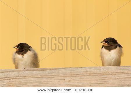 Two Young Swallows