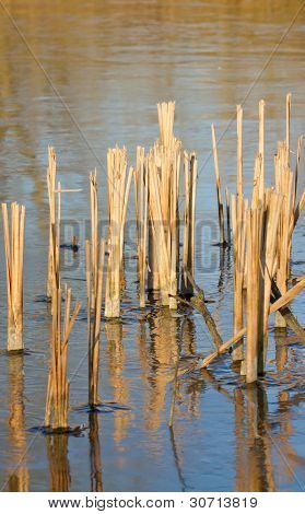 Reed In Frozen Lake
