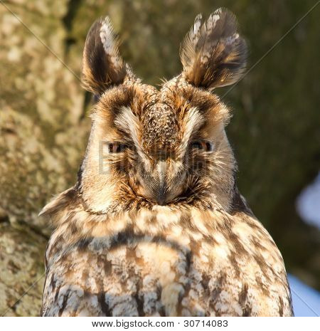 A Sleeping Long-eared Owl