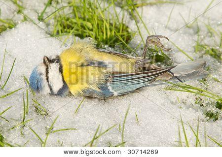 Um falecido Chapim-azul