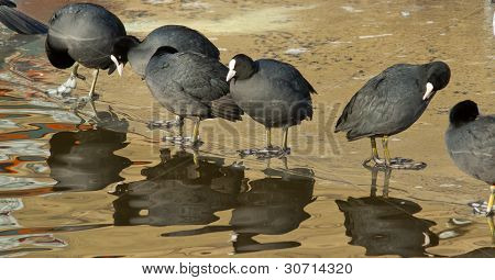 A Row Common Coots