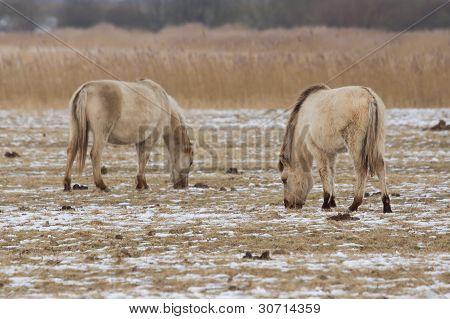 Grazing Konik Horses