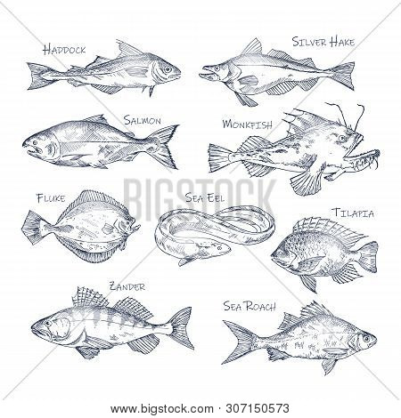 Set Of Isolated River And Ocean Fish Sketches. Haddock And Silver Hake, Salmon And Monkfish, Fluke A