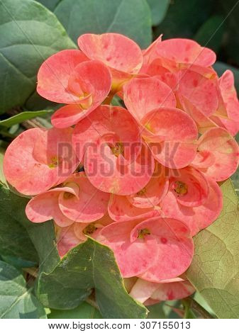 Orange euphorbia flowers in India
