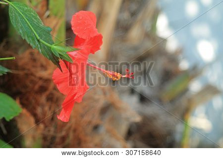 Close-up Of A Red Hibiscus Flower With Petals, Staminal Column, Stigmas, Yellow Anthers, Green Pedun