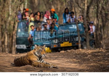 Showstopper A Wild Male Bengal Tiger Sitting On Road And In Background Safari Vehicles Sighting This